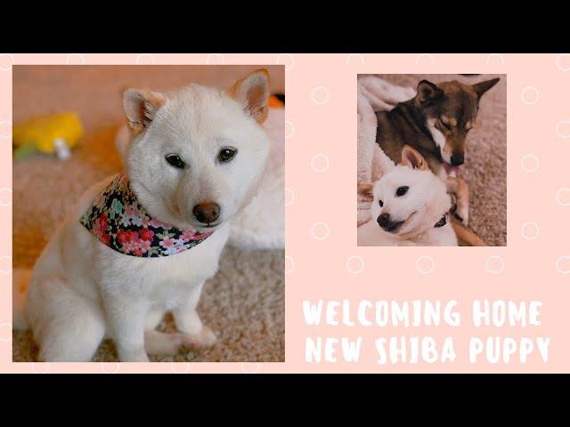 New Shiba Puppy | Vlog 002