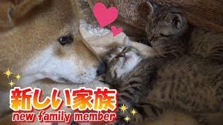 子猫ちゃんが家族の一員になりました!キジ猫ちゃん2匹です   自己紹介...