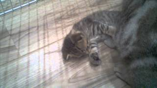 Котята Скоттиш фолд и страйт с мамочкой: 4,5 недели (4)