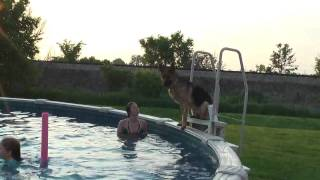German Shepherd  Jumps In Pool