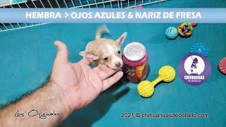 Chihuahua de Bolsillo de Ojos Azules & Nariz de Fresa