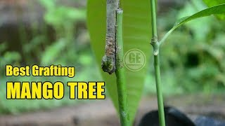 Best Grafting Method Mango Tree and Showing Result