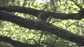 Gambar cover 野鳥:ツミ 雌/雄からもらた餌を
