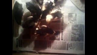 Мои цыплята(Красивые цыпки., 2016-01-25T11:10:01.000Z)