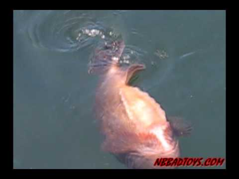 Lump fish swims up side down youtube for Fish swimming video