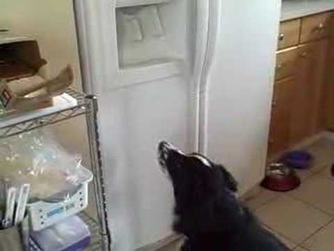 Dog Getting Ice Cube from Refrigerator Ice maker