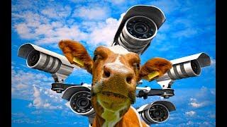 Деревенские будни / Коровы под присмотром - видеонаблюдение через интернет / День Рождения ЕГОРА