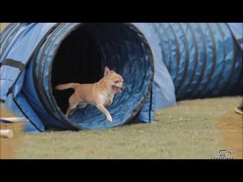 Biggie Smalls Chihuahua UKI US Open Speedstakes Championship 2018