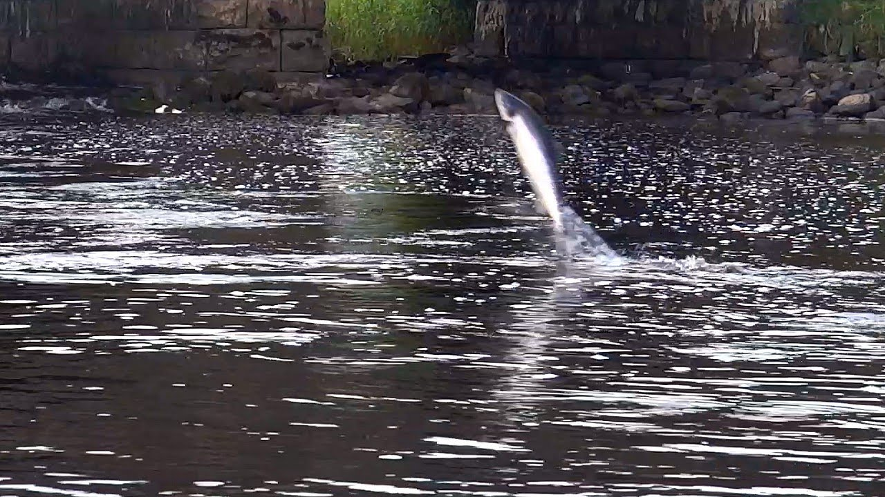 Image result for drowes river salmon