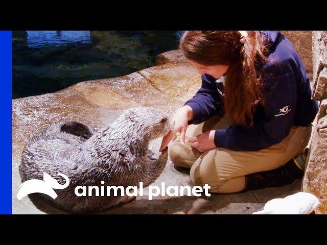 Saying Goodbye To Oz The Sea Otter | The Aquarium