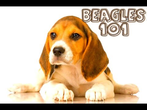 BEAGLES 101 : What to expect when you get one!
