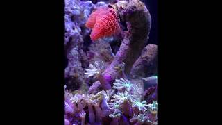 Baixar Ver tube aquarium recifal - Protula bispiralis