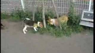 Puppy 20070505 Welsh Corgi And Beagle