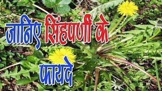 सिंहपर्णी के फायदे – Dandelion के Benefits in Hindi
