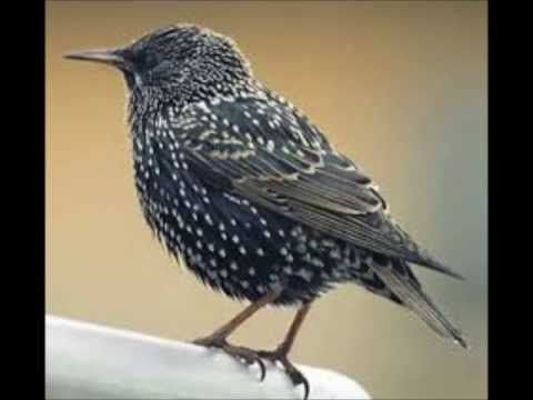 Song Of The Starling (canto Del Storno)