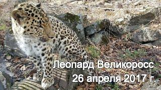 Леопард Великоросс 26 апреля 2017 г.