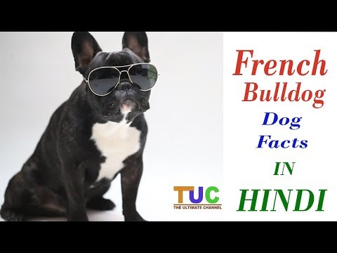 FRENCH BULLDOG Dog Facts In Hindi | Dog Facts | Popular Dogs | The Ultimate Channel