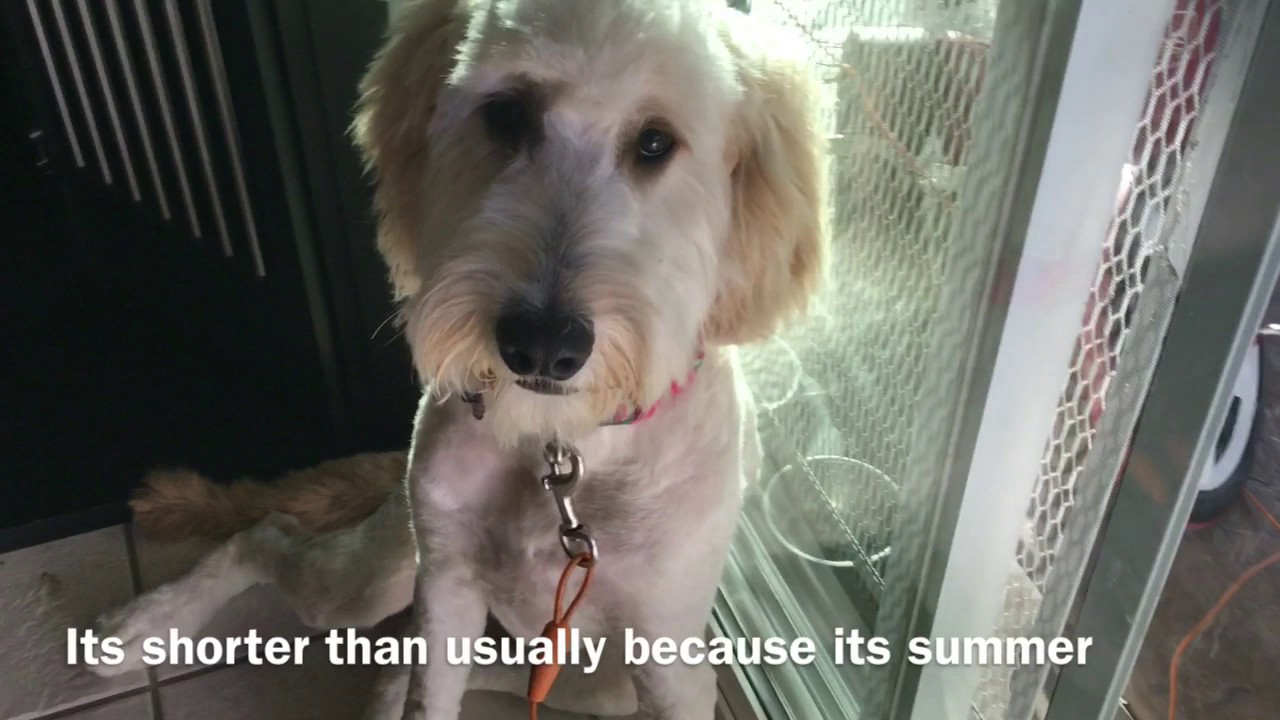 Goldendoodle Puppy Gets A Haircut Youtube