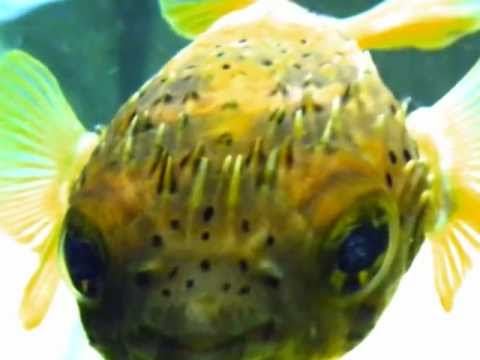 Cutest Fish in the World- Doug the Porcupine Pufferfish