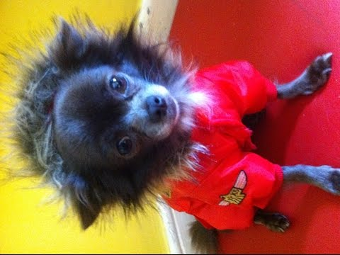 Dressing Toy Dogs. Chihuahua Wears Red Aviator Fur Parka Onesie. Cute