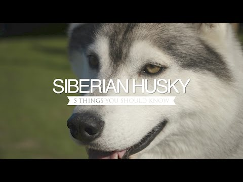 SIBERIAN HUSKY FIVE THINGS YOU SHOULD KNOW