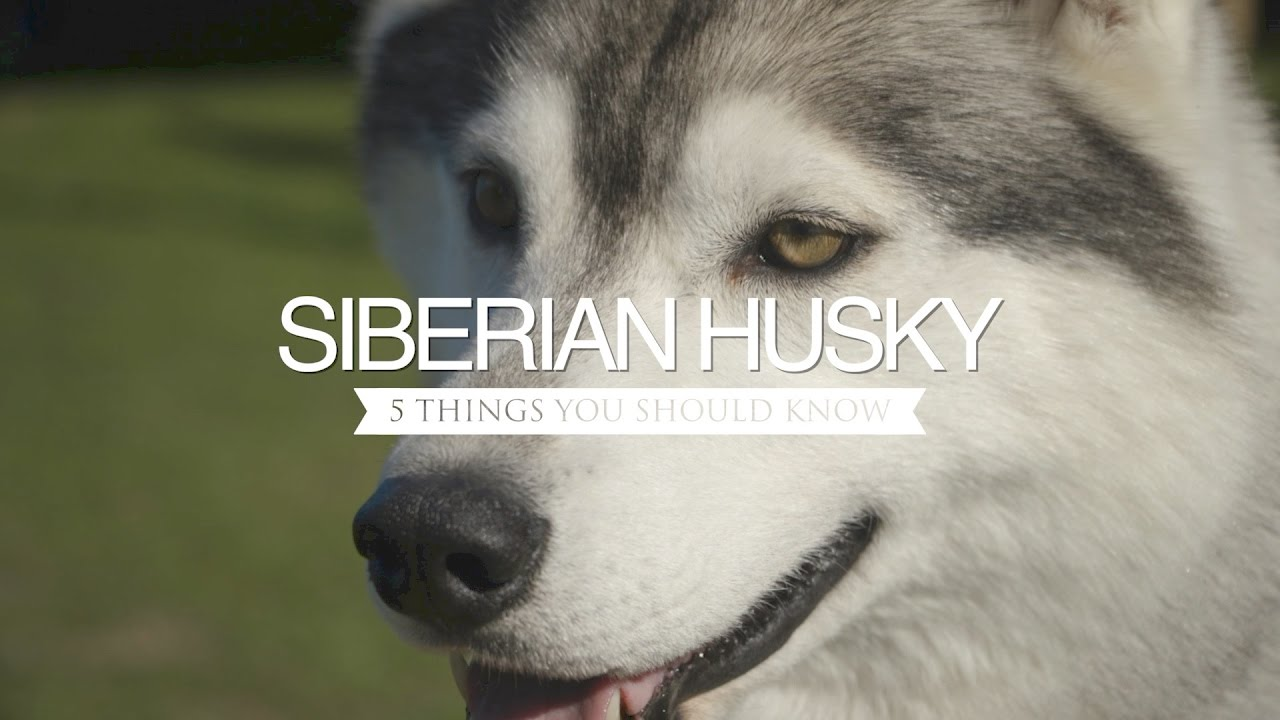 Siberian Husky Five Things You Should Know Youtube