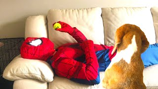 Superheroes Spiderman Helping Cute Dogs with Morning Routine