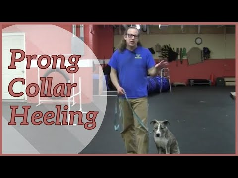 Prong Collar Heeling with Prong Collar Dance How To Dog Training