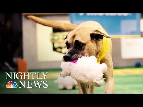Senior Pups Compete In Special 'Dog Bowl' | NBC Nightly News