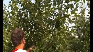 Обрезка яблонь и деревьев летом