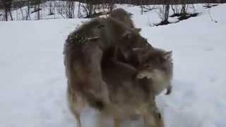 Reacción de lobos al encontrarse con su criador thumbnail