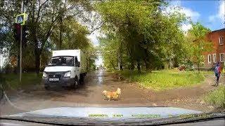 17*Животные-пешеходы,умные и дурные! / Law-abiding pedestrian
