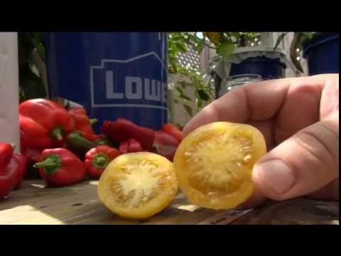 ➪ Wapsipinicon Peach - Tomato taste test - FUZZY TOMATO!!