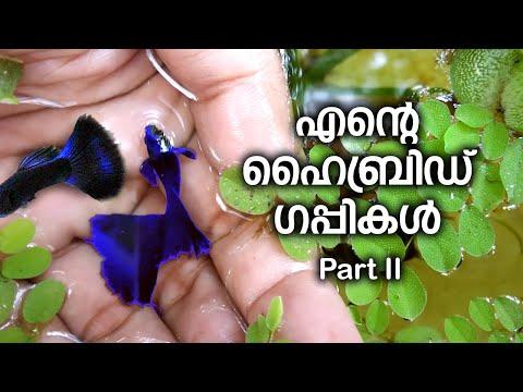 Hybrid Guppies. Kerala Local Vlog #104