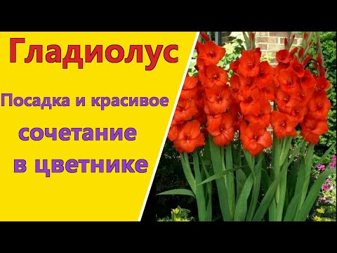 ГЛАДИОЛУС.Правильная посадка и красивое сочетание с другими растениями в цветнике.