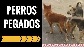 Repeat youtube video Porque los Perros se Pegan - PorQue se Quedan Pegados los Perros despues de Aparearse - Jose Arca