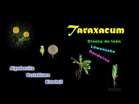 Pusteblume • cipsela • blowball • taraxacum