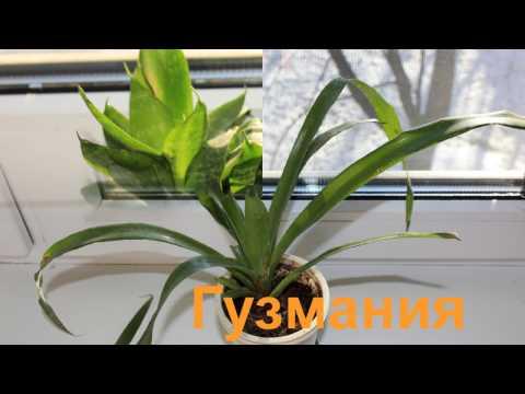 Как зимуют наши комнатные растения на южном подоконнике Фото и название