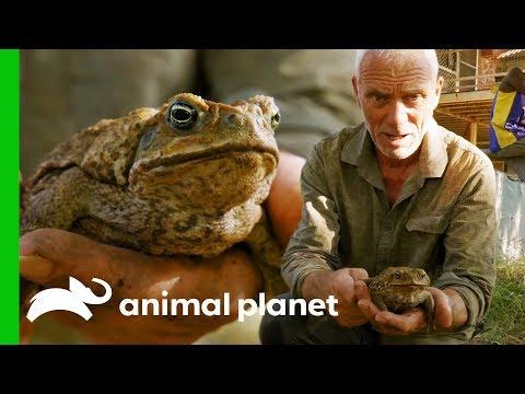 Invasive Cane Toads Are Threatening Australia's Native Wildlife | Jeremy Wade's Dark Waters