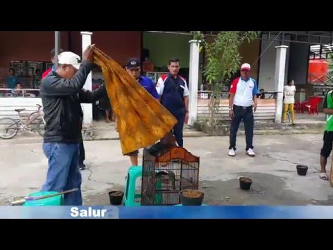 Lomba Burung Cucak Rawa   Launching BnR Sambas