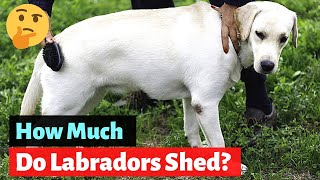 How much do Labrador Retrievers shed? Is It Really that MUCH?