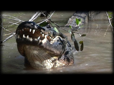 Alligator Eats Raccoon 01 - Dangerous Animals