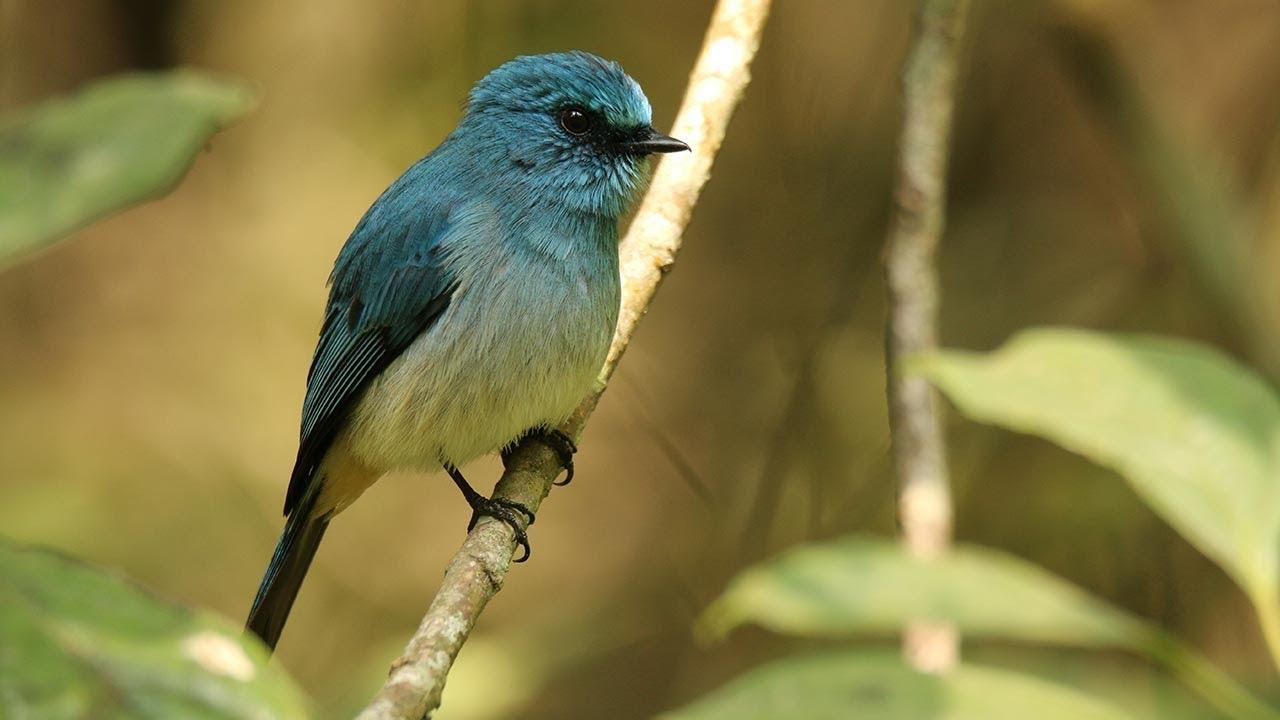 Indigo Flycatcer Sikatan Ninon Eumyas Indigo By Birdpacker Facts