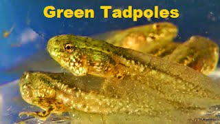 TADPOLES! - End stages of GREEN FROG Tadpoles