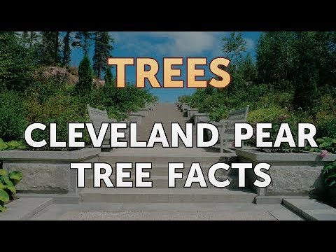 Cleveland Pear Tree Facts Youtube