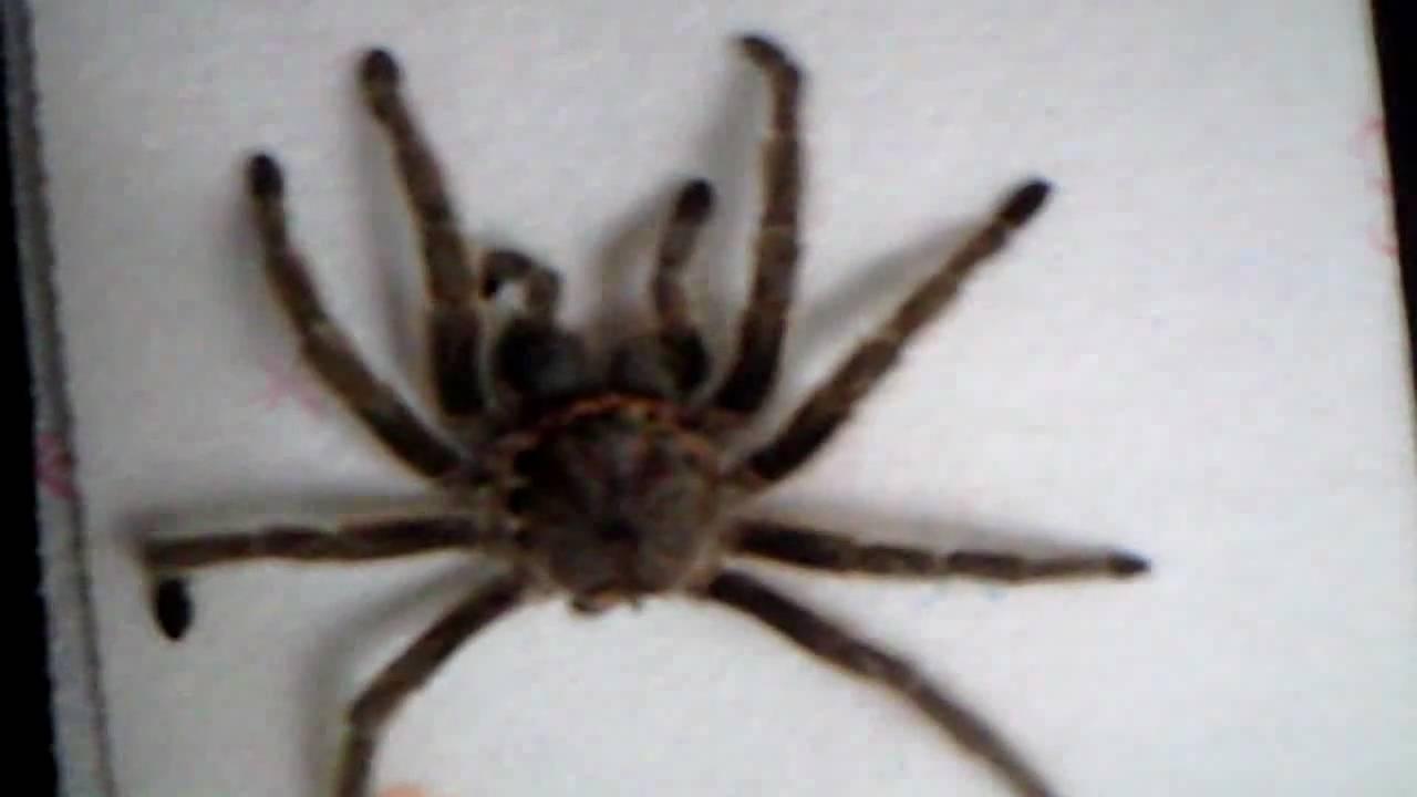 Image Gallery man eating spiders