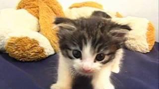 子猫のお部屋(ブリーダー)生まれのノルウェイジャンフォレストキャット 201...