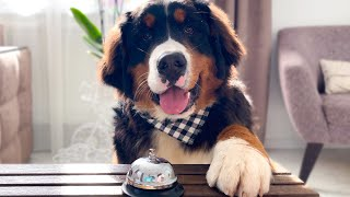 Bernese Mountain Dog Puppy Ring the Bell