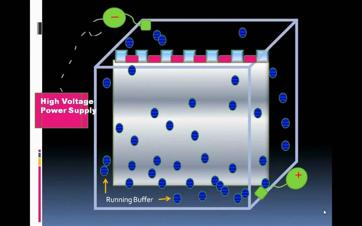 Introduction To Serum Protein Electrophoresis.wmv - YouTube