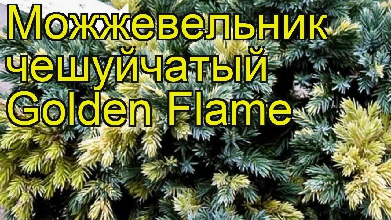 Можжевельник чешуйчатый Голден Флейм. Краткий обзор, описание .